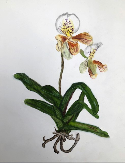Alister's orchid